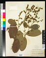 View Tetracera sessiliflora Triana & Planch. digital asset number 0