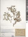 View Glinus radiatus (Ruiz & Pav.) Rohrb. digital asset number 1