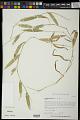 View Stenotaphrum micranthum (Desv.) C.E. Hubb. digital asset number 0