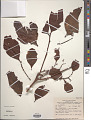 View Dendrotrophe amorpha Stauffer digital asset number 1
