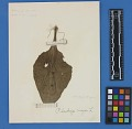 View Botanical Specimens From Quileute Indians digital asset number 25