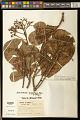 View Anacardium giganteum W. Hancock ex Engl. digital asset number 0