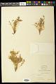 View Euphorbia micromera Boiss. digital asset number 0