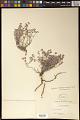 View Euphorbia tomentella Zipp. ex Span. digital asset number 0