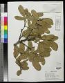 View Quercus arizonica Sarg. digital asset number 0