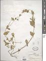 View Alternanthera micrantha R.E. Fr. digital asset number 1
