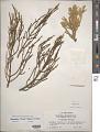 View Phoradendron libocedri (Engelm.) Howell digital asset number 1