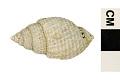 View Nutmeg Shell digital asset number 2