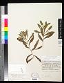 View Potamogeton alpinus Balb. x P. nodosus Poir. digital asset number 0