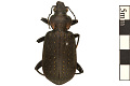 View Ground Beetle digital asset number 0