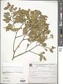 View Securidaca lanceolata A. St.-Hil. digital asset number 1