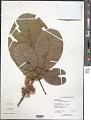 View Sloanea truncata Urb. digital asset number 1