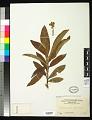 View Eriobotrya japonica (Thunb.) Lindl. digital asset number 0