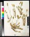 View Bromus hordeaceus subsp. divaricatus (Bonnier & Layens) Kerguélen digital asset number 0