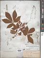 View Aesculus sylvatica W. Bartram digital asset number 1