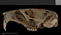 View Thomomys talpoides yakimensis digital asset number 7