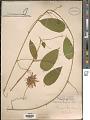 View Passiflora serratifolia L. digital asset number 1
