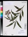 View Vernonia noveboracensis (L.) Michx. digital asset number 0