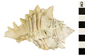 View Leafy Murex, West Indian Murex digital asset number 0