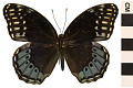 View Diana Fritillary, Brush-footed Butterfly digital asset number 0