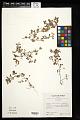 View Desmodium heterophyllum (Willd.) DC. digital asset number 0