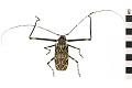 View Giant Harlequin Beetle, Harlequin beetle digital asset number 0
