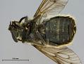 View Hybomitra stigmoptera fuji digital asset number 4