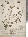 View Pisonia aculeata L. digital asset number 1