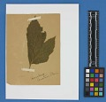 View Botanical Specimens From Quileute Indians digital asset number 16