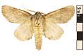 View Variable Oakleaf Caterpillar Moth, Maple Prominent digital asset number 1