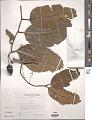 View Cryptocarya samoensis Christoph. digital asset number 1
