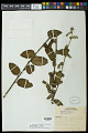 View Waltheria indica L. digital asset number 0