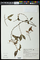 View Begonia fruiticosa (Klotzsch) A. DC. digital asset number 0