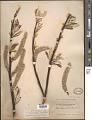 View Salix alaxensis var. longistylis (Rydb.) C.K. Schneid. digital asset number 1