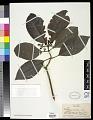 View Psychotria insularum A. Gray digital asset number 0