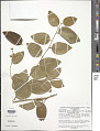 View Securidaca coriacea Bonpl. ex Steud. digital asset number 1