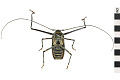 View Giant Harlequin Beetle, Harlequin beetle digital asset number 1