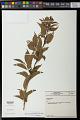 View Aureliana fasciculata (Vell.) Sendtn. digital asset number 0
