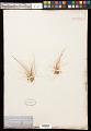 View Eleocharis acicularis (L.) Roem. & Schult. digital asset number 0