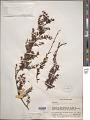 View Cladomyza angustifolia Stauffer digital asset number 1