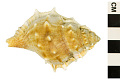View Common Frog Snail, Elegant Frog Shell digital asset number 1
