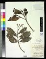 View Syzygium fastigiatum (Blume) Merr. & L.M. Perry digital asset number 0