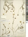 View Aphanostephus skirrhobasis (DC.) Trel. ex Coville & Branner digital asset number 1