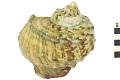 View Great Green Turban, Great green turban shell digital asset number 1