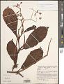 View Begonia smilacina digital asset number 1