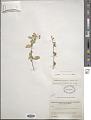 View Stegnosperma watsonii D.J. Rogers digital asset number 0