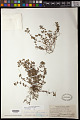 View Euphorbia prostrata Aiton digital asset number 0