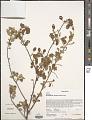 View Humbertiella decaryi (Hochr.) Dorr var. decaryi digital asset number 1