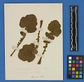 View Botanical Specimens From Quileute Indians digital asset number 28