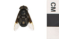 View Mexican Cactus Fly, Hoverfly digital asset number 2